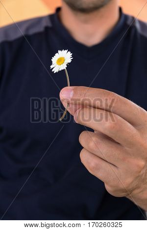 Man holds in a hand small white daisy. Guesses on camomile for love.