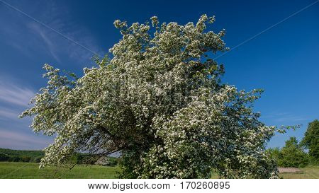 flowering hawthorn tree on a background of blue sky spring rural landscape