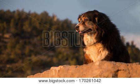 Beautiful Australian shepherd gazing at the view from a rock shelf