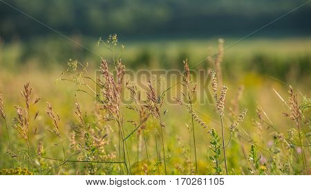 plant spikelets on a meadow on a blurred background