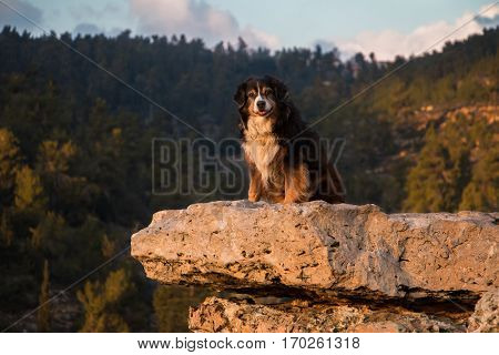 Australian shepherd gazing at the view from a rock shelf