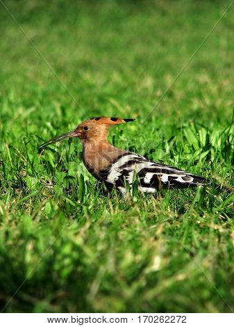 Hoopoe bird standing on the grass in a park