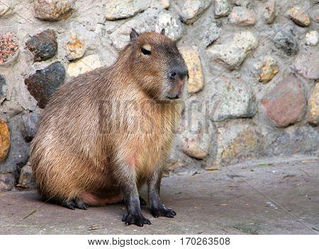 Capybara (Hydrochoerus hydrochaeris) on background of stone wall
