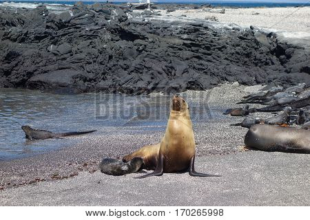 Seals bask in the sun on the beach by the sea