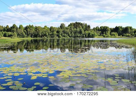 Forest Lake with water lilies summer sun day