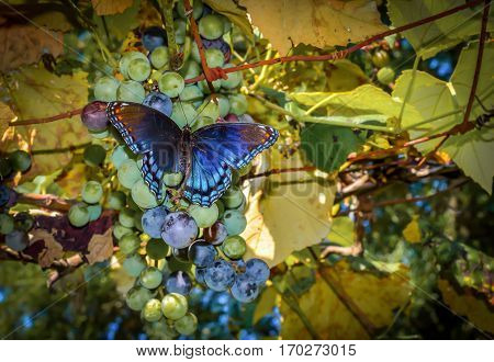 Beautiful vibrant colorful butterfly resting on ripening grapes in a vineyard.