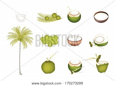 Illustration Collection of Beautiful Fresh Coconuts with Tropical Palm Tree and Coconut Water Drink.