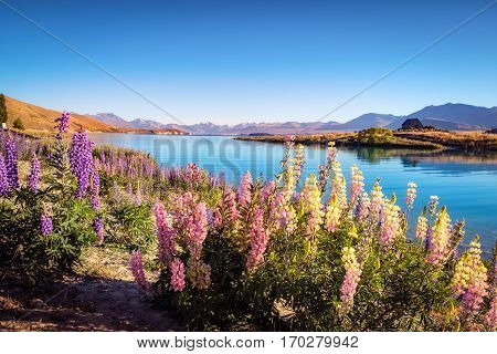 Landscape View Of Lake Tekapo, Mountains And Lupin Flowers