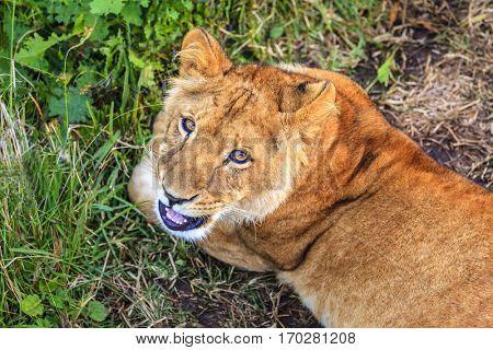White lioness cub