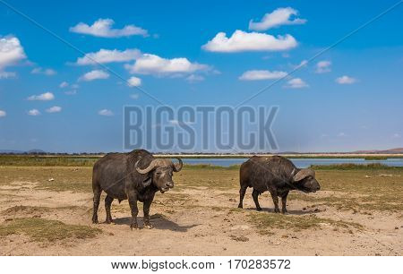 Two buffaloes at amboseli national park kenya