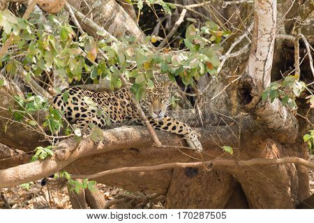 Jaguar From Pantanal, Brazil