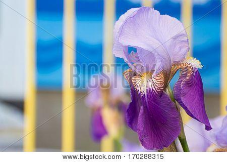 Violet Purple Flower of German Iris in spring Iris germanica