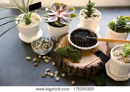 Florist concept. Replanting beautiful succulents on grey table