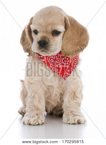 cocker spaniel puppy wearing bandanna