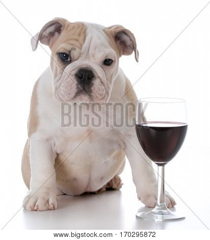 cute bulldog puppy with glass of red wine isolated on white background