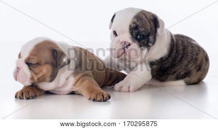 three week old bulldog puppies