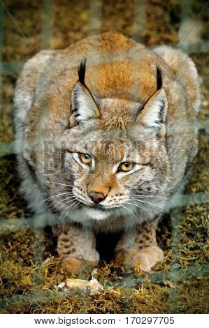 lynx big cat smart animal in cage