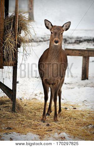 roe deer in winter Reserve Bialowieza Forest Belarus