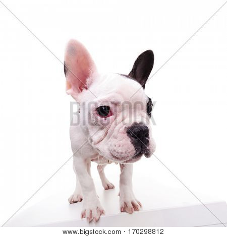 portrait of a standing frenchie standing on white background, wide angle picture in studio