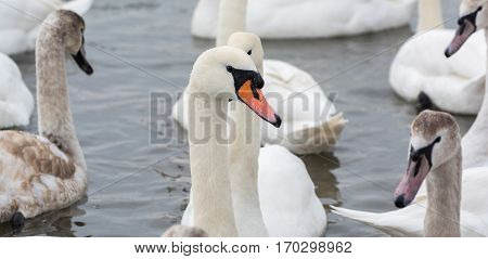 Swans On The Water In Winter. White Swan Close-up.