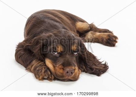 Cute Cocker Spaniel puppy dog laying down looking up, thinking and wishing