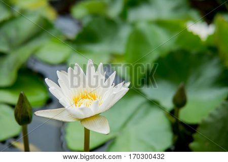 Lotus Flower Or Water Lily Floating
