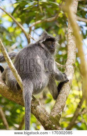 Silvered leaf langur monkey in Bako National Park, Borneo, Malaysia