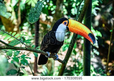The Toco Toucan sitting on the branch of the tree in Iguacu National Park of the Iguazu Falls, one of the worlds largest and most impressive waterfalls, Foz de Iguacu, Parana State, Brazil