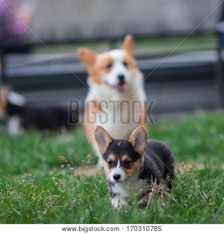 Photo of Welsh Corgi Dog Family Playing in Park on Green Grass. Pembroke Corgi Puppy Having Fun Outdoors