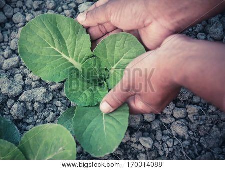 Hand holding organic bok choy in garden