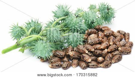 Dry and green castor beans over white background