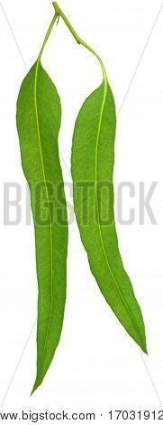 Closeup of Eucalyptus leaves over white background