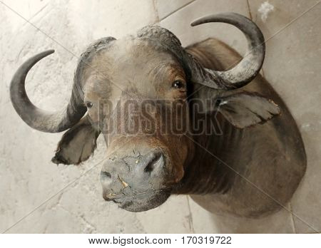 water buffalo. old abandoned water buffalo head taxidermy on the floor of a warehouse covered in dust and dirt.