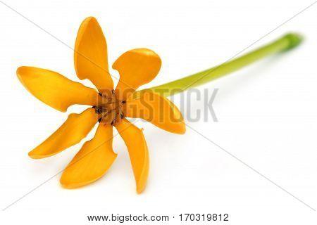 Closeup of Pinwheel Gardenia over white background