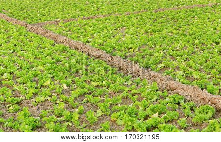 Close up of Organic lettuce production in farmland
