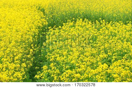 Mustard field in rural area of Bangladesh