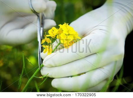 Cutting a bunch of mustard flowers with scissors