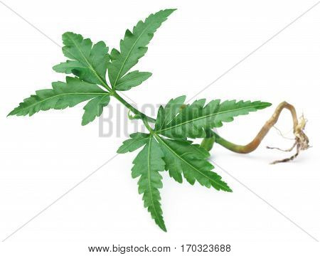 Close up of Young neem plant over white background