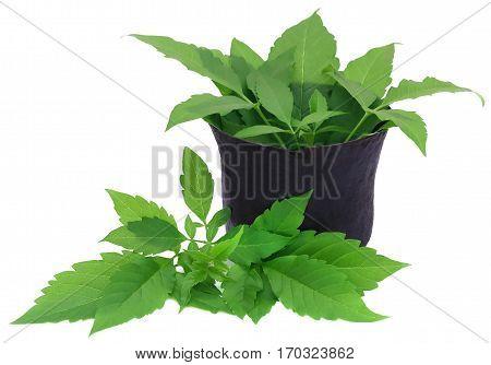 Medicinal Vitex Negundo in mortar with pestle