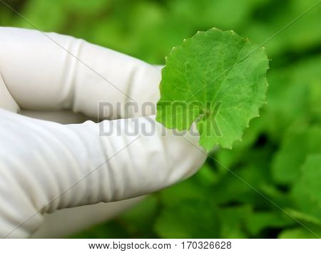 Close up of Picking Thankuni leaves in a garden