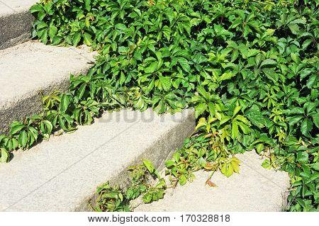 Vine Leaves On Stairs