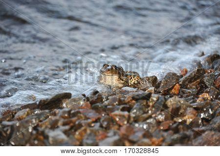 Frog In Tidal Wave