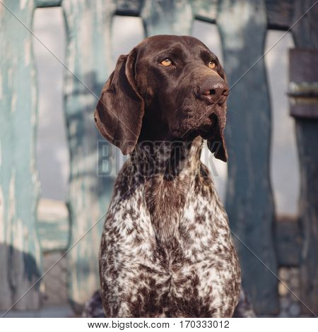 Dog portrait. German pointer dog in garden.
