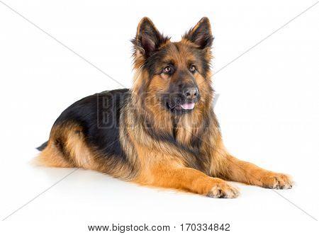 German shepherd long-haired dog lying isolated