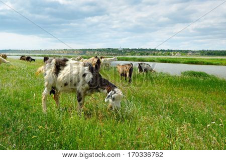 Herd of goats and sheep grazing in the pasture near the lake.
