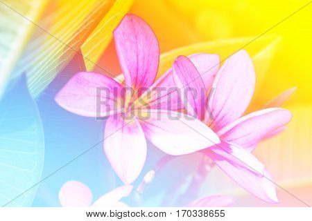 Close up branch of tropical flowers frangipani (plumeria)