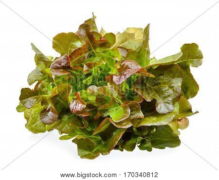 Lettuce Isolated On The White Background