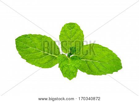 Peppermint Isolated On The White Background