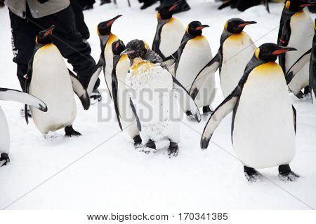 Penguins on the walk in zoo in Japan