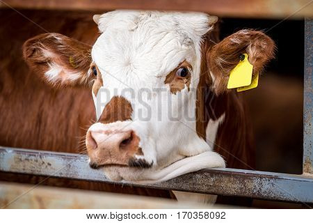 Red Cow standing in the paddock in farm looking into the frame close-up